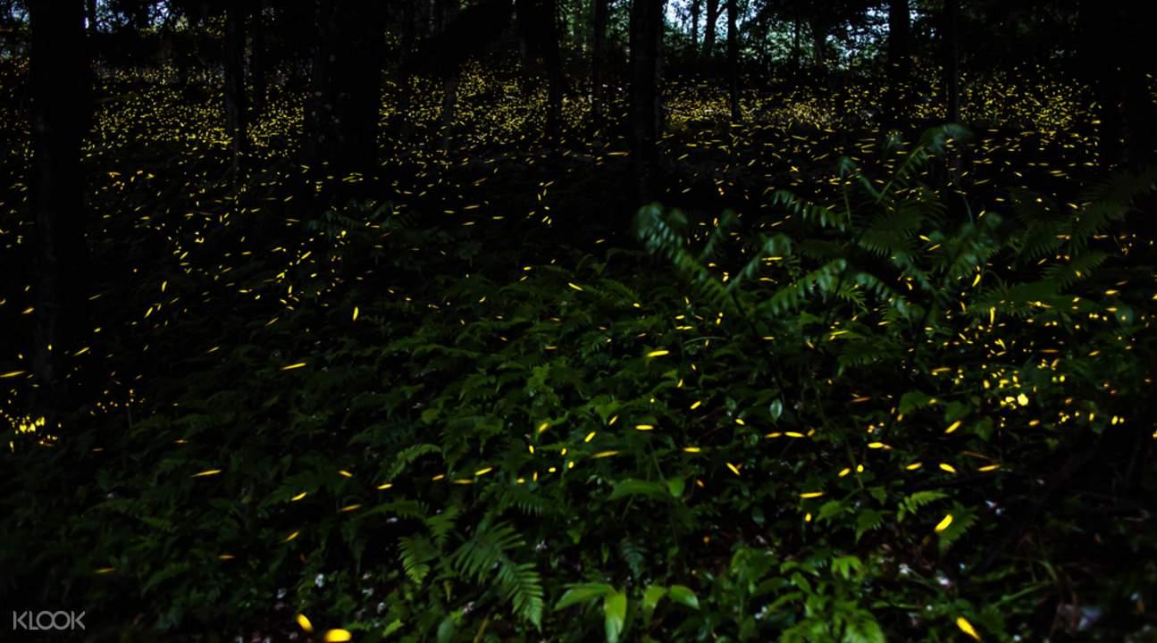 克麗絲河螢火蟲探索