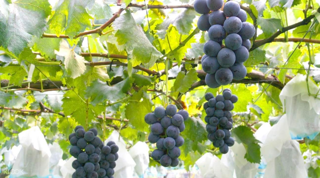 採葡萄東京