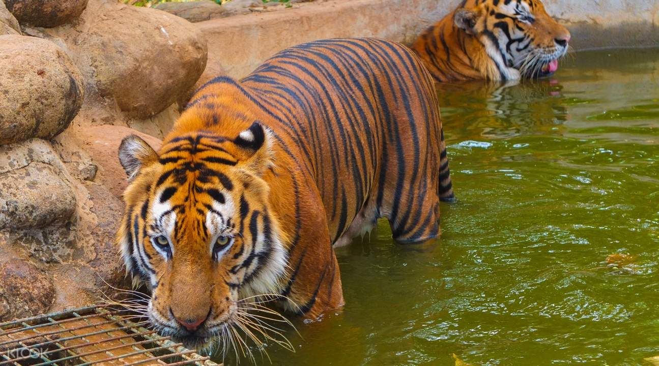 Tiger Encounter at Zoobic Safari in Subic