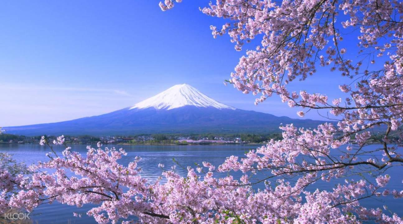 富士河口湖樱花