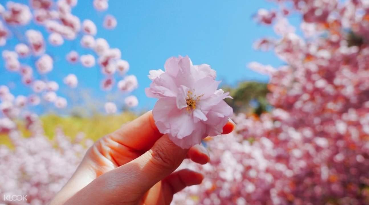 马耳山八重樱花