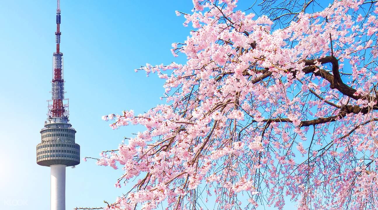 Cherry blossom tour Korea