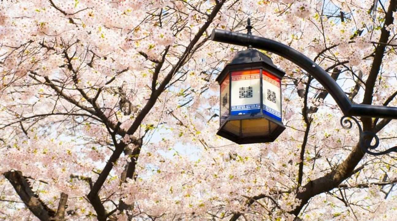 Seoul cherry blossom
