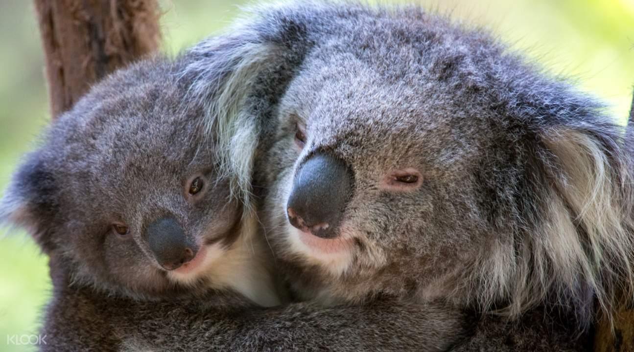 koalas in melbourne