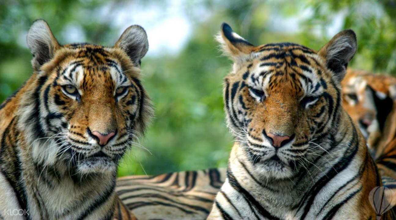 曼谷野生动物园老虎