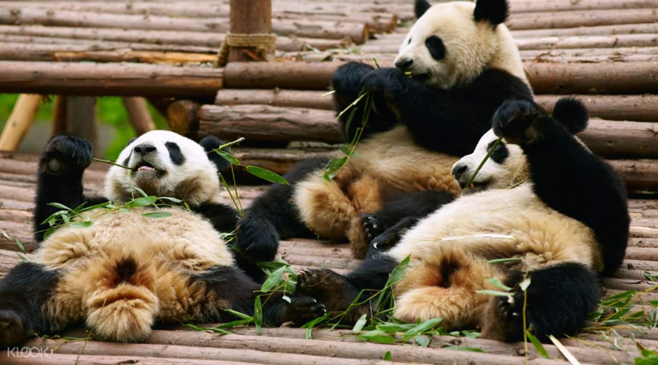 Giant Panda Chengdu