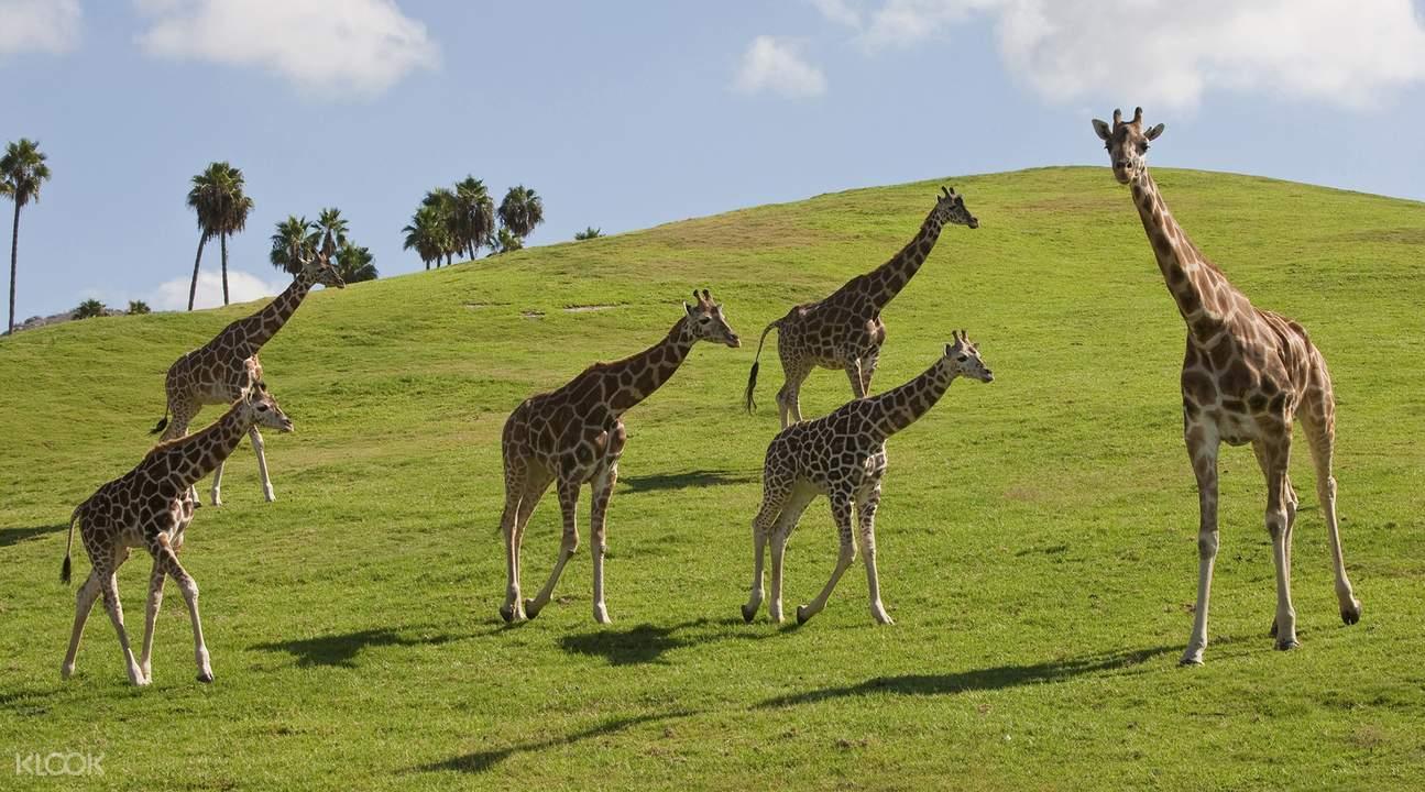 San Diego Zoo Safari Park African Tram