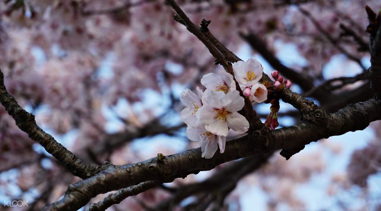 镇海军港节樱花节