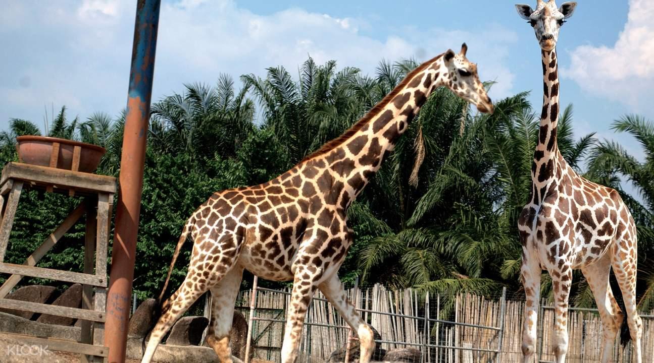 爱化摩沙野生动物园长颈鹿