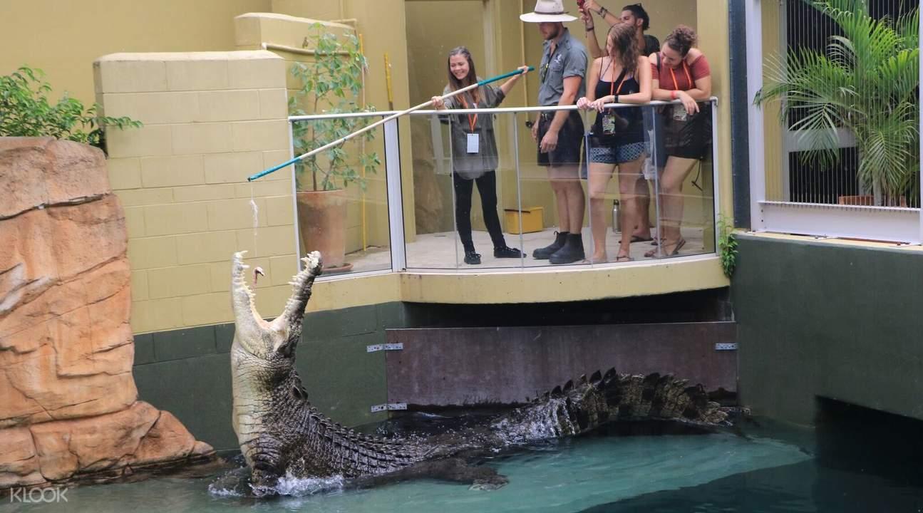 咸水鳄鱼喂食