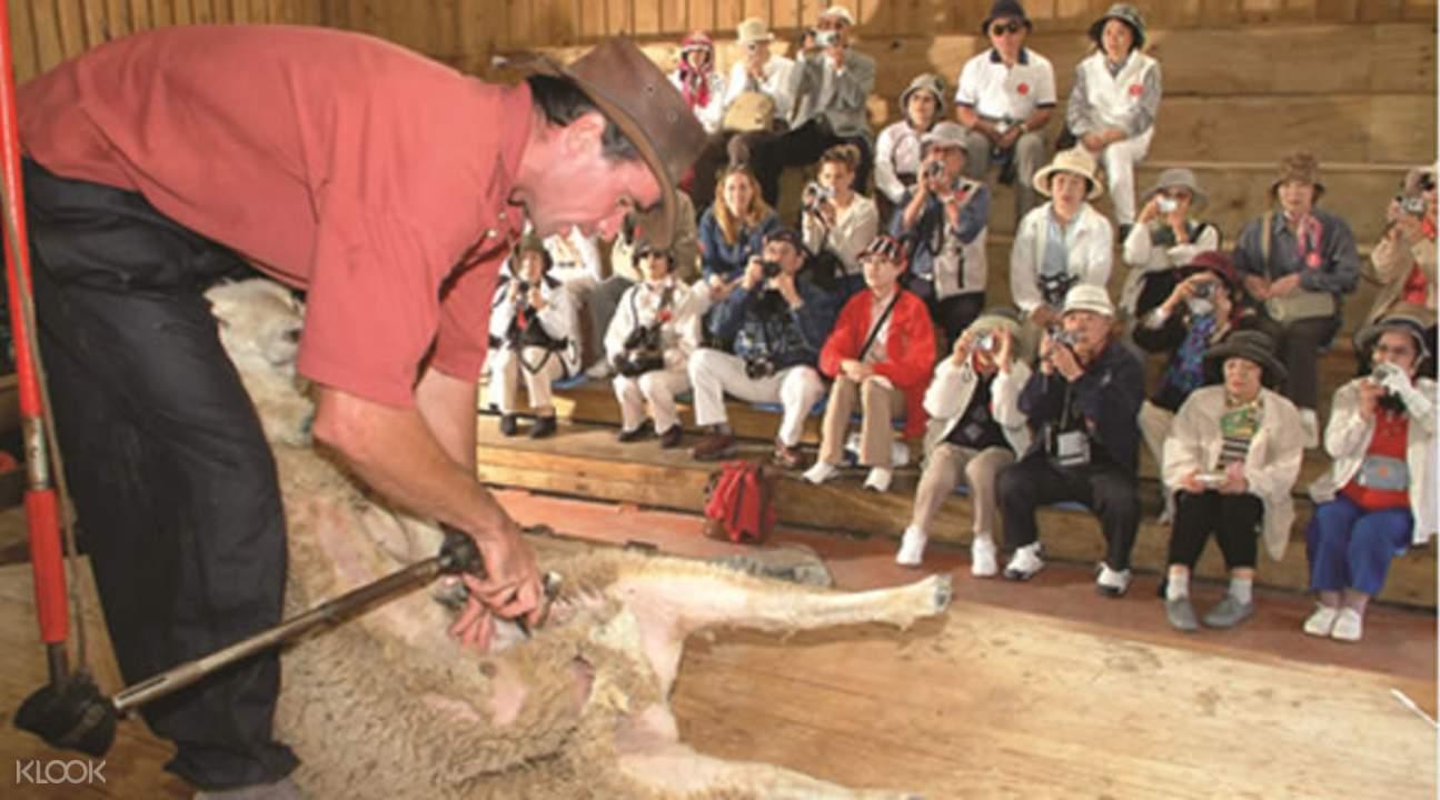 綿羊世界剪羊毛