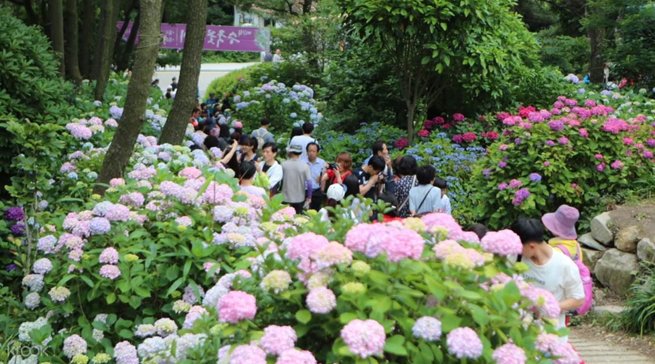 釜山繡球花慶典