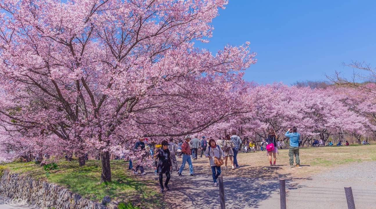 高遠城櫻花