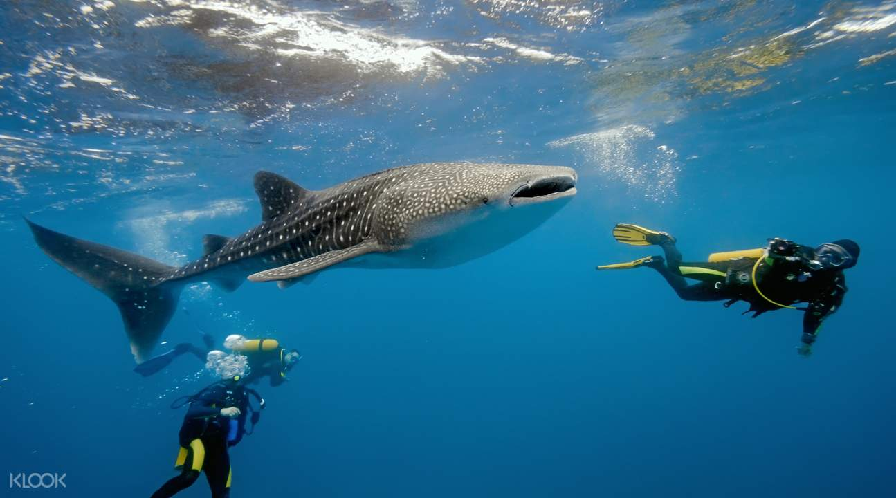 Oslob whale shark watching snorkeling