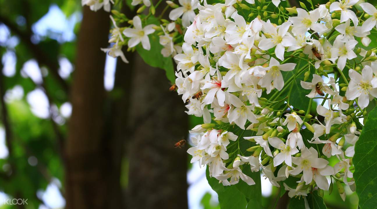 Taiwan tung blossom