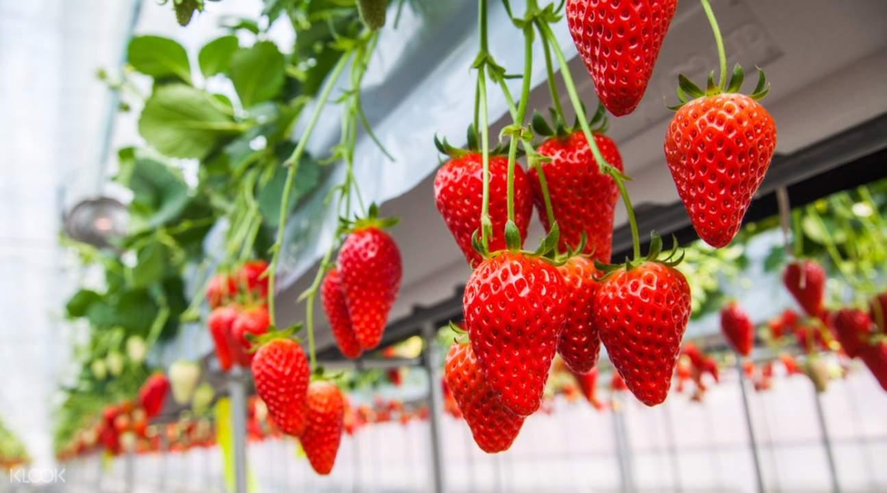 日本採摘甜草莓