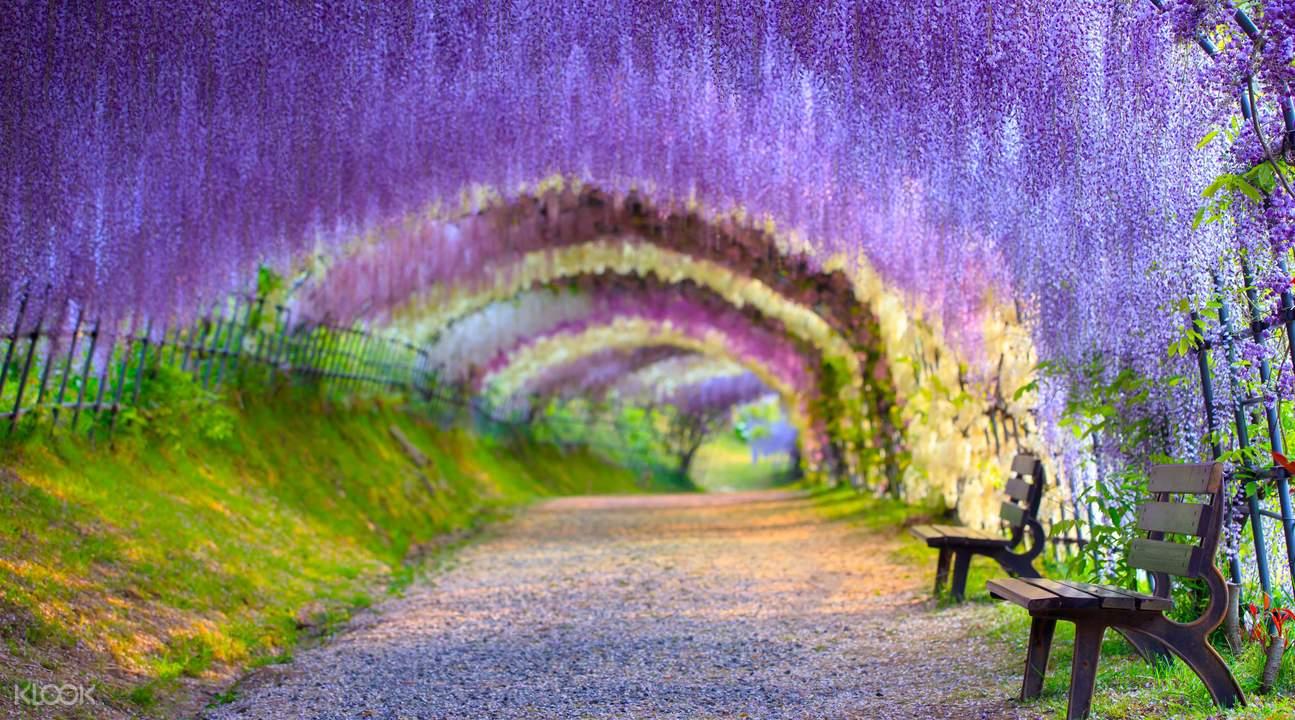 日本紫藤花隧道
