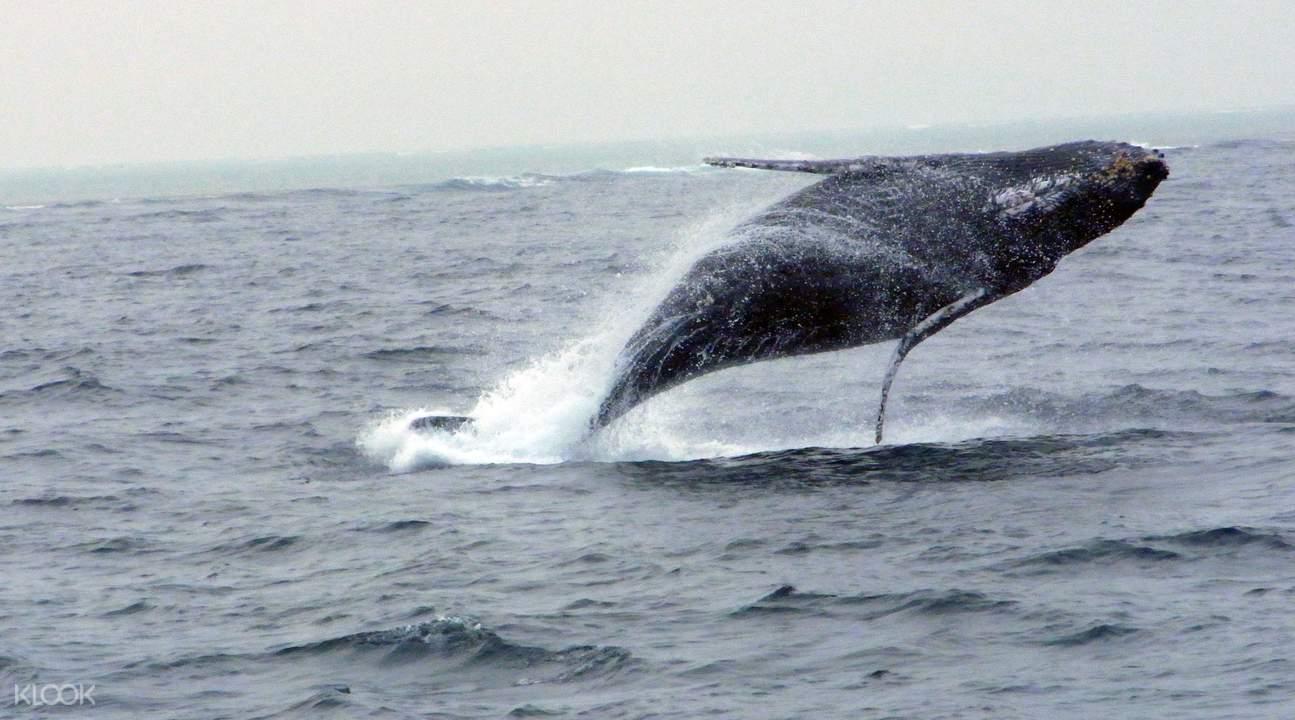 沖繩冬日賞鯨之旅