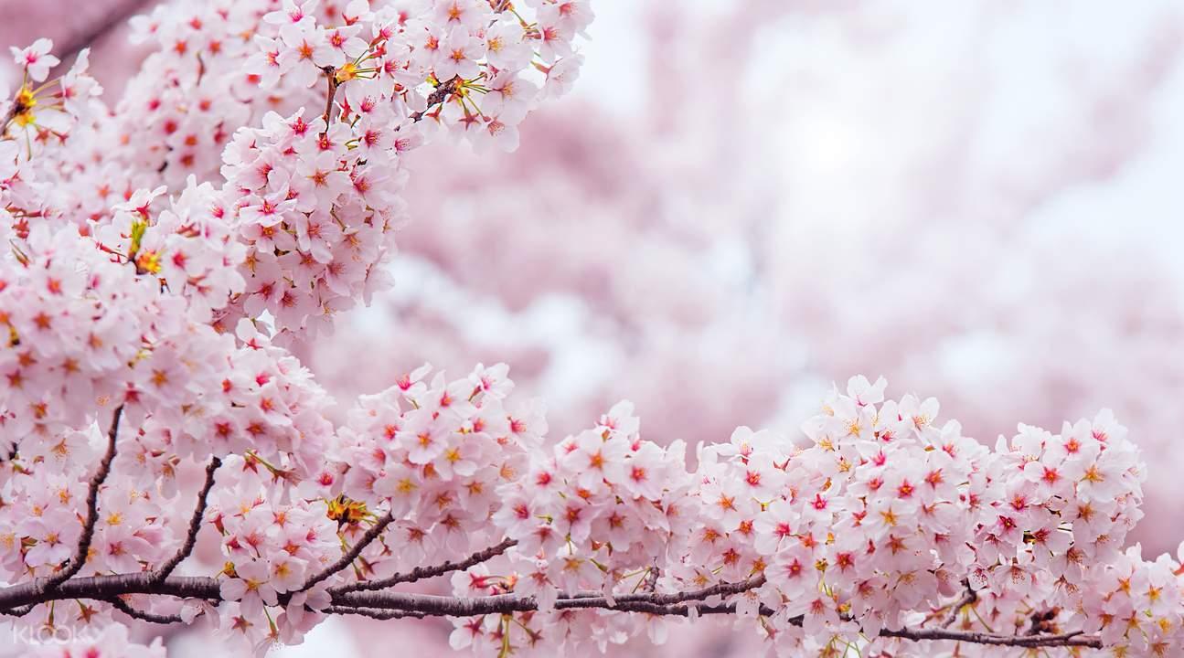 镇海军港节樱花庆典