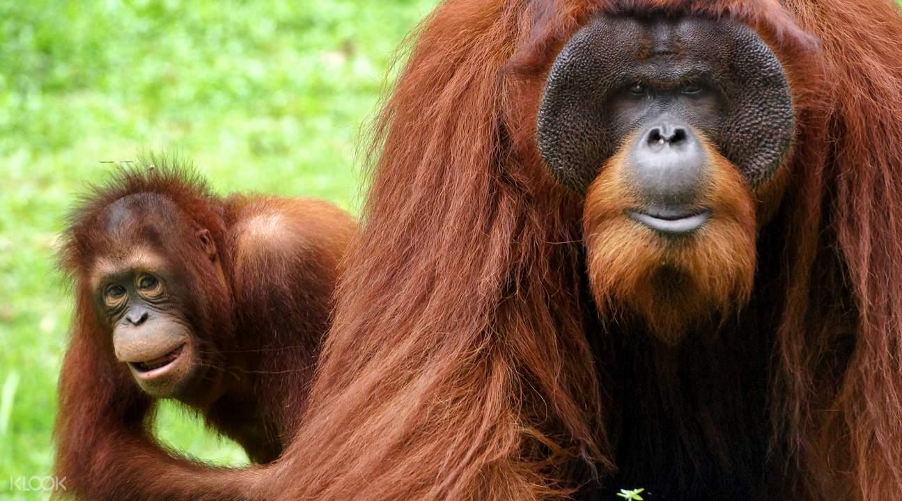 愛化摩沙野生動物園紅毛猩猩