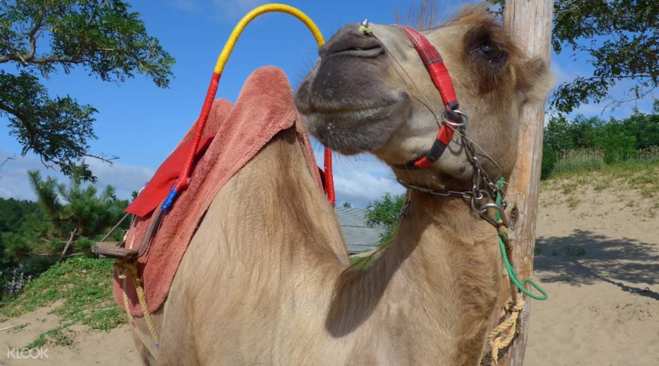鸟取沙丘骆驼
