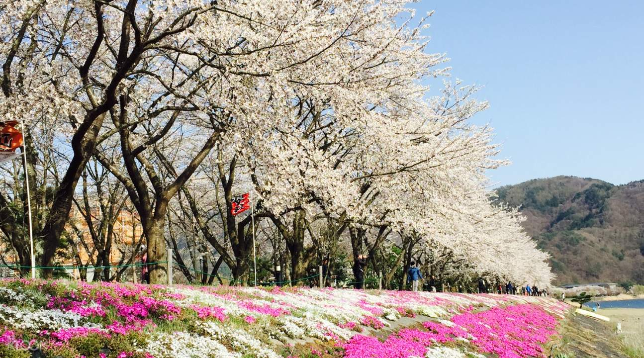 Lake kawaguchi blooming flowers