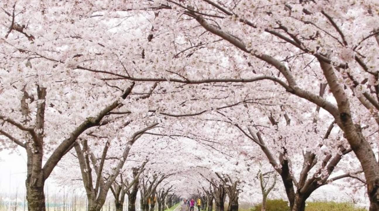 全州馬耳山櫻花慶典