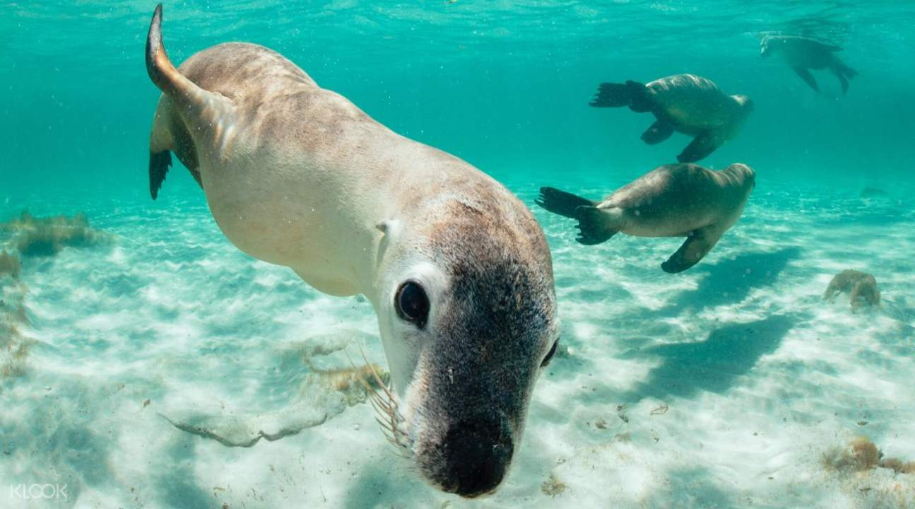 sea lion tour optional snorkeling experience jurien bay perth