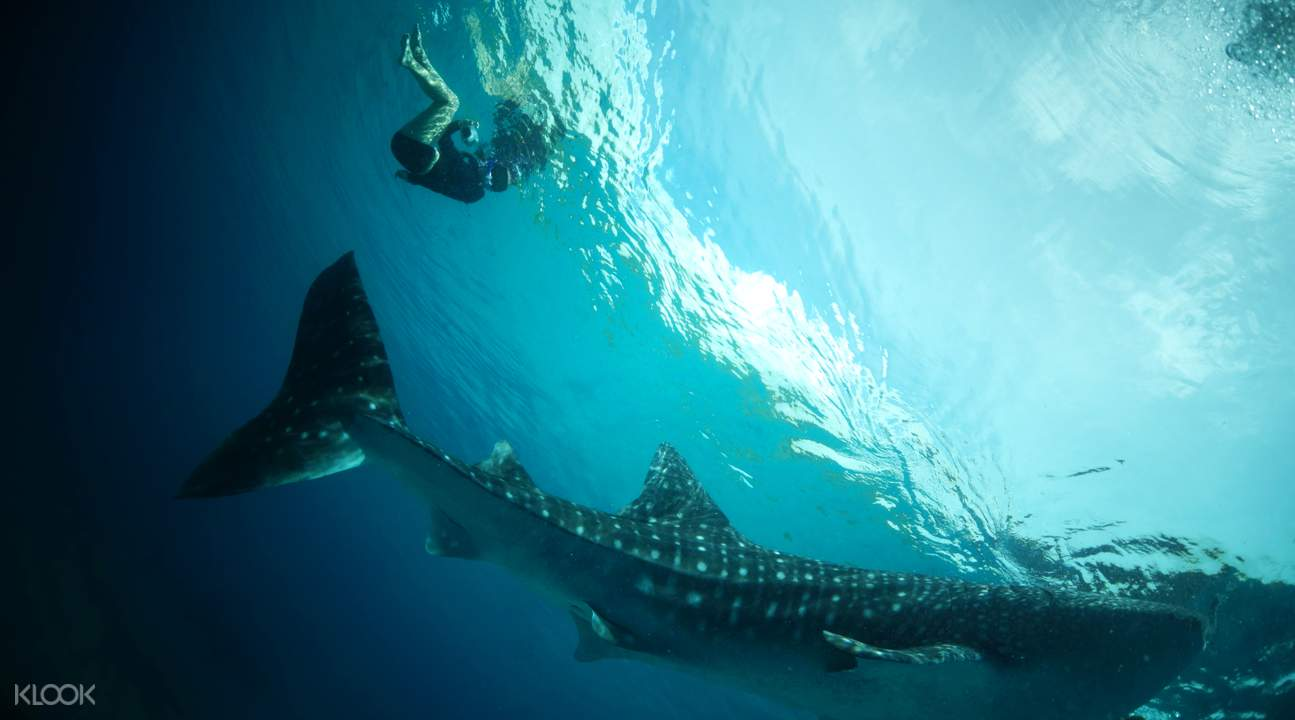 whale shark swimming oslob