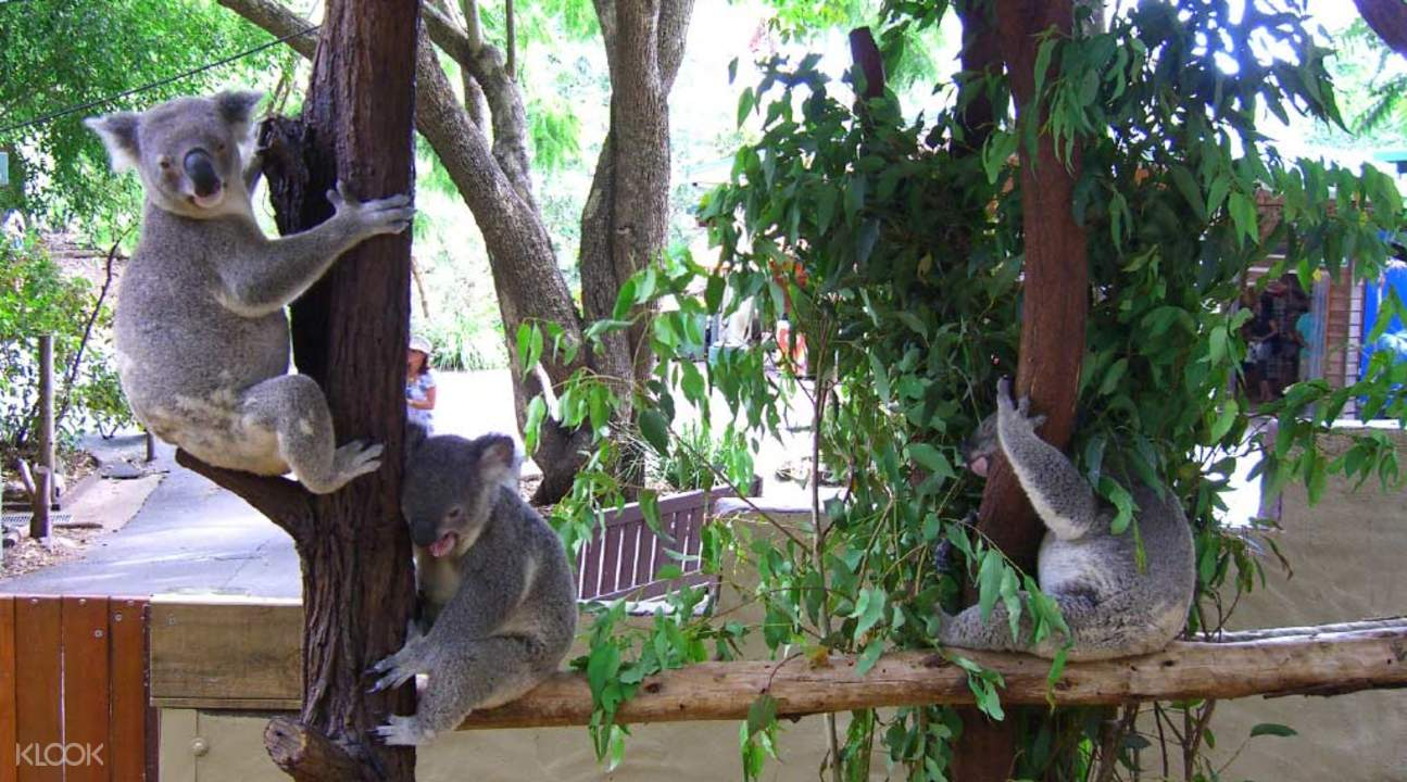 brisbane city tour lone pine koala sanctuary