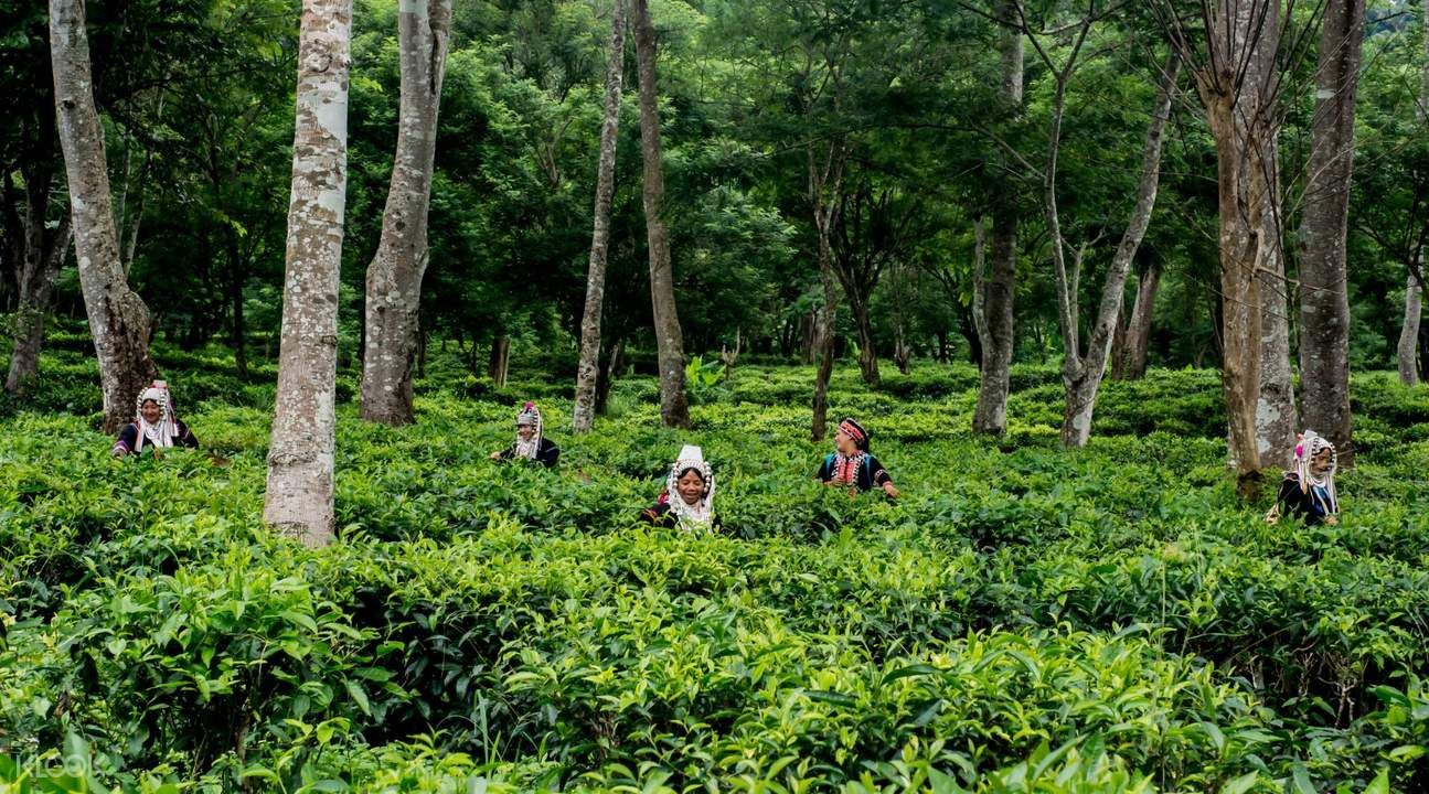 women harvesting araksa tea garden thailand