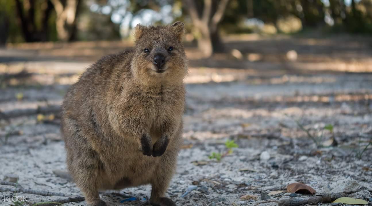 Quokkas Australia