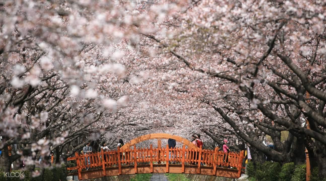 jinhae gunhangje cherry blossom festival from seoul