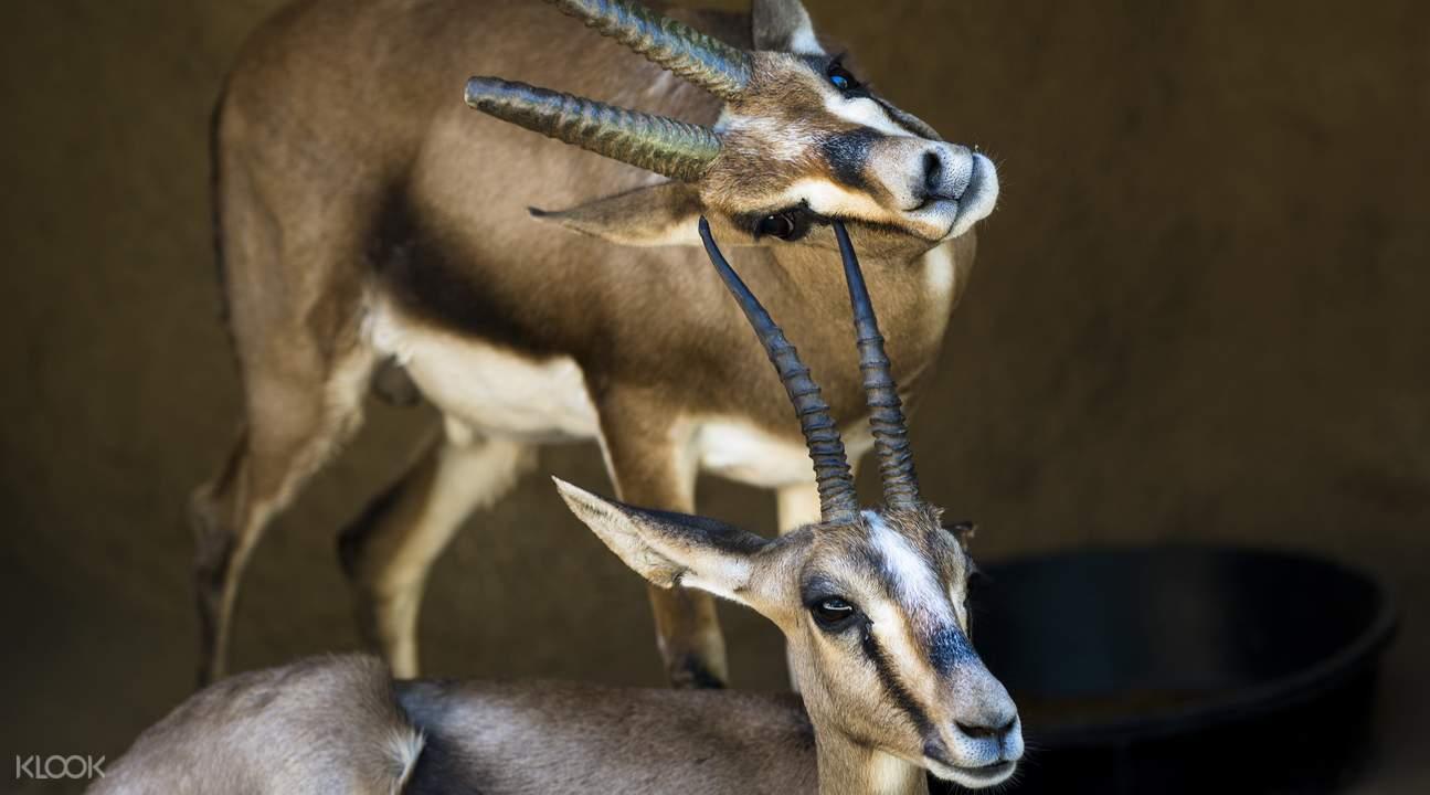 圣地亚哥动物园羚羊