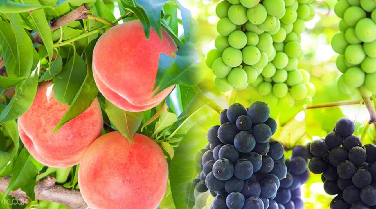 日本採摘水果