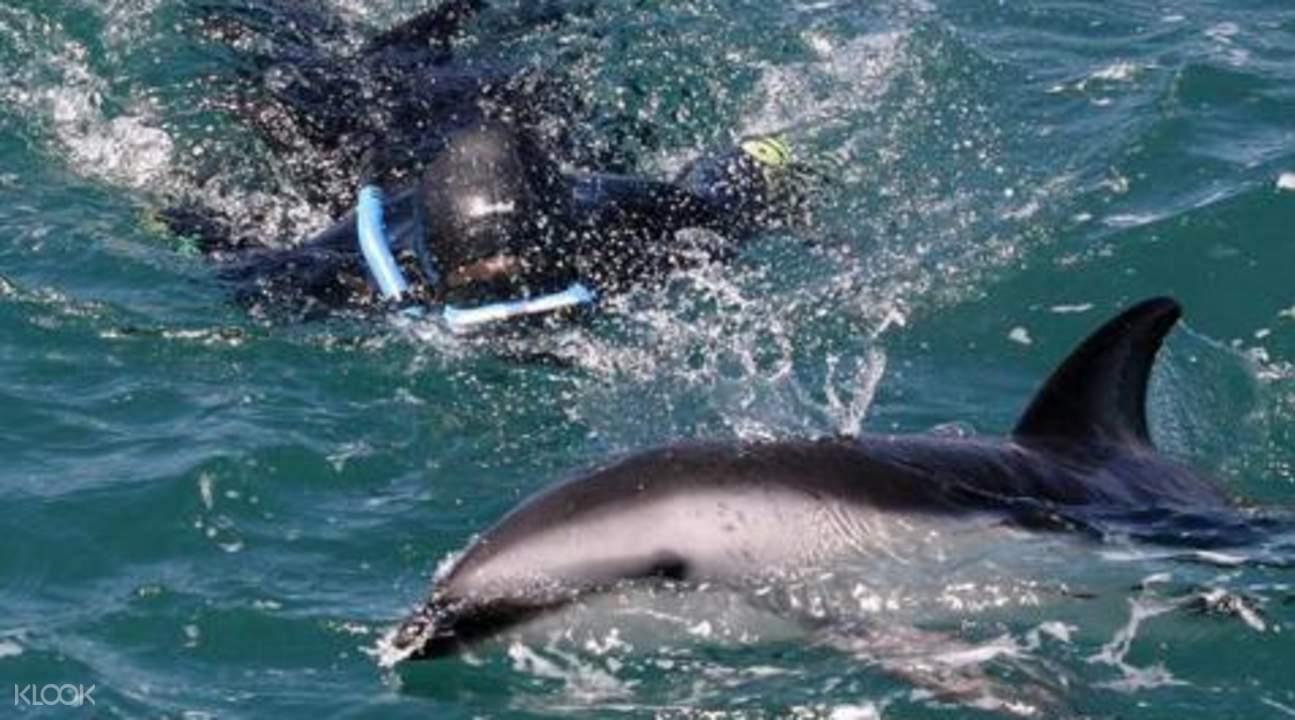 凯库拉暗色斑纹海豚
