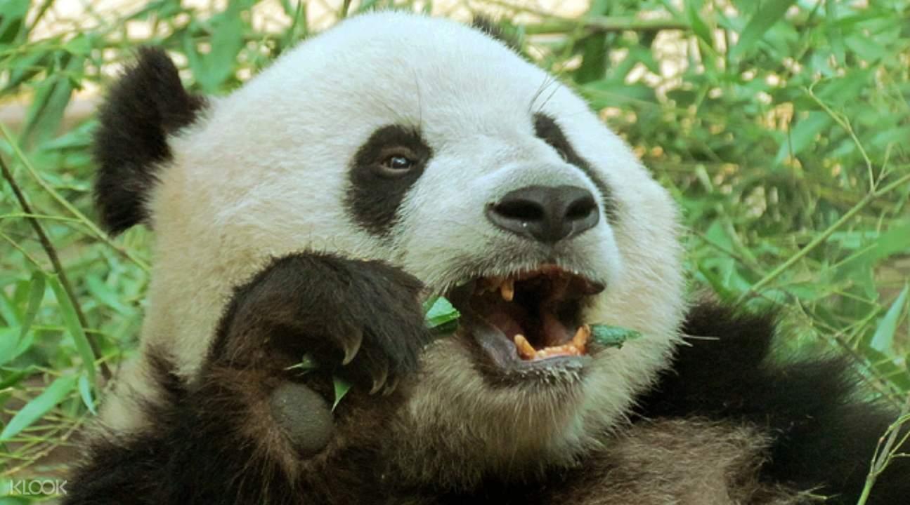 a panda bear eating a plant