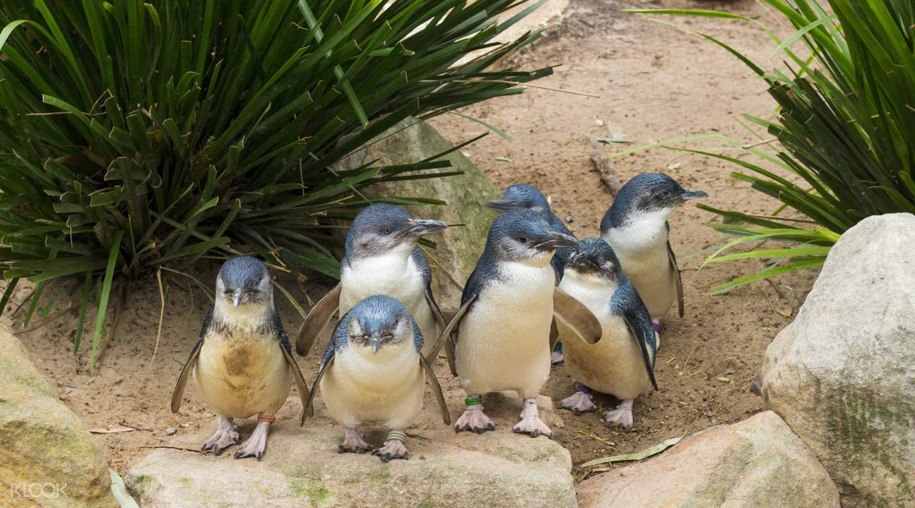 penguins and Phillip island
