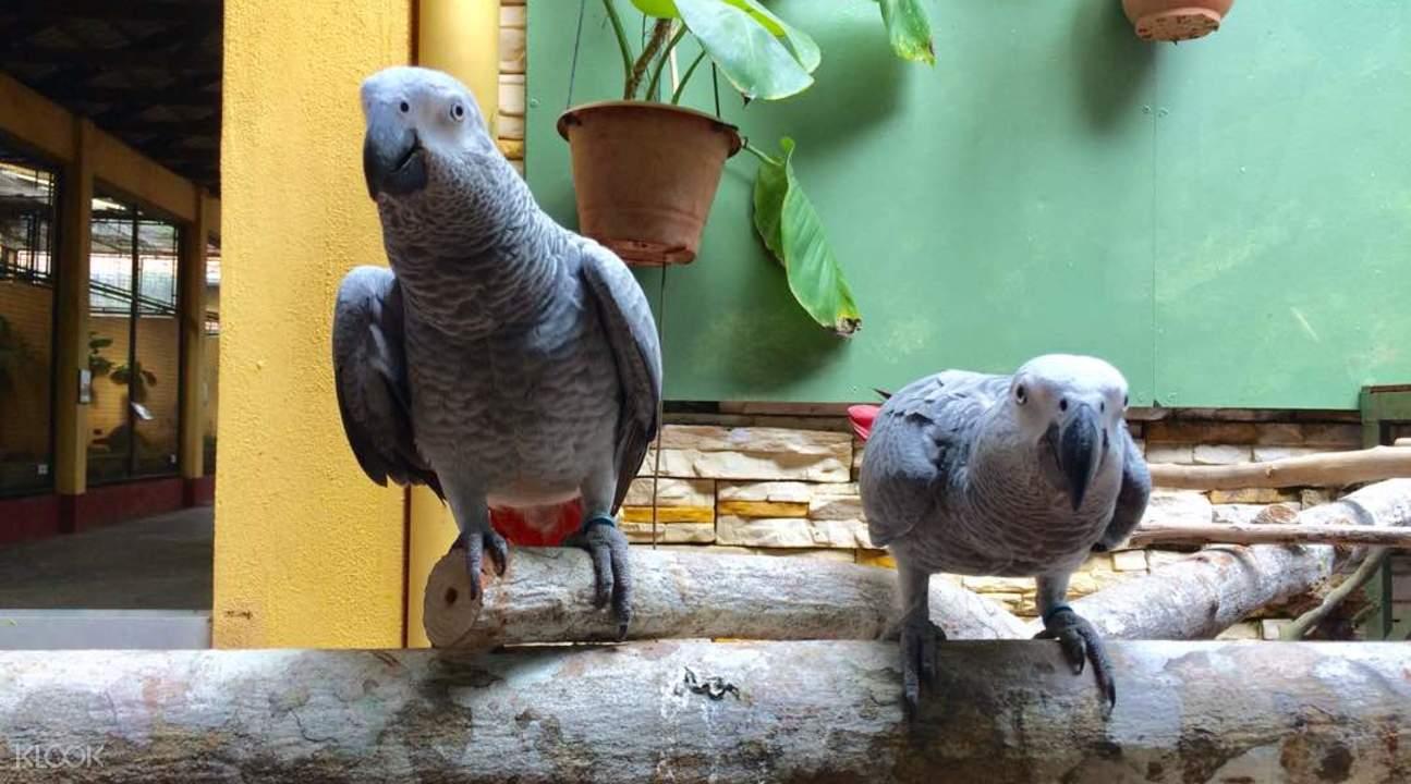 蘭卡威野生動物園灰鸚鵡