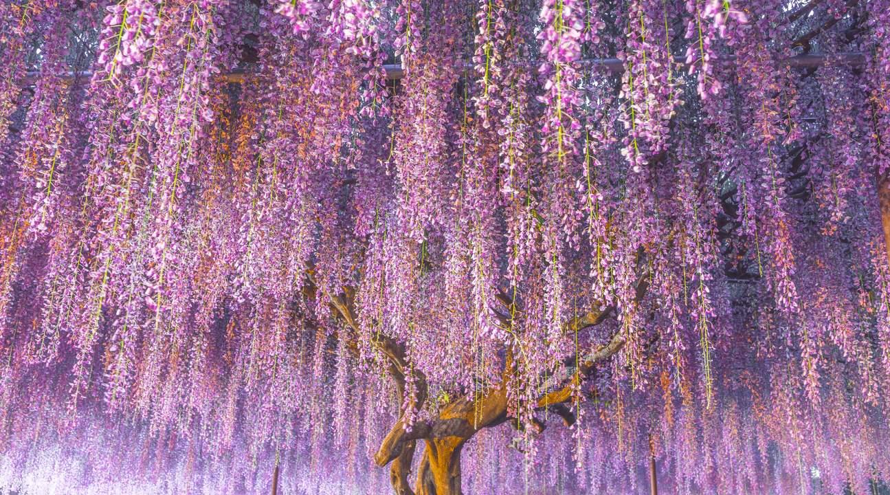 ashikaga flower park from tokyo