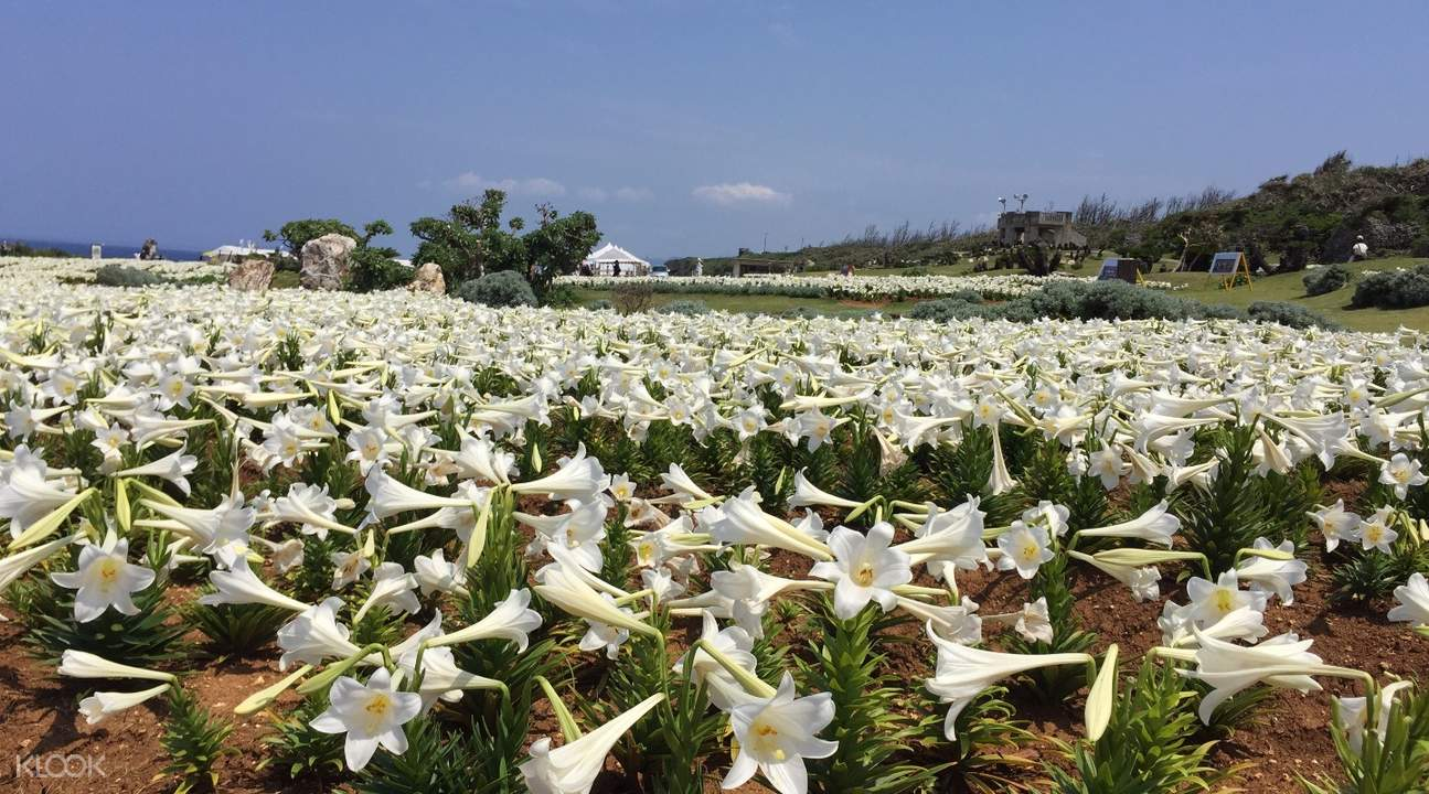 lily festival ie island