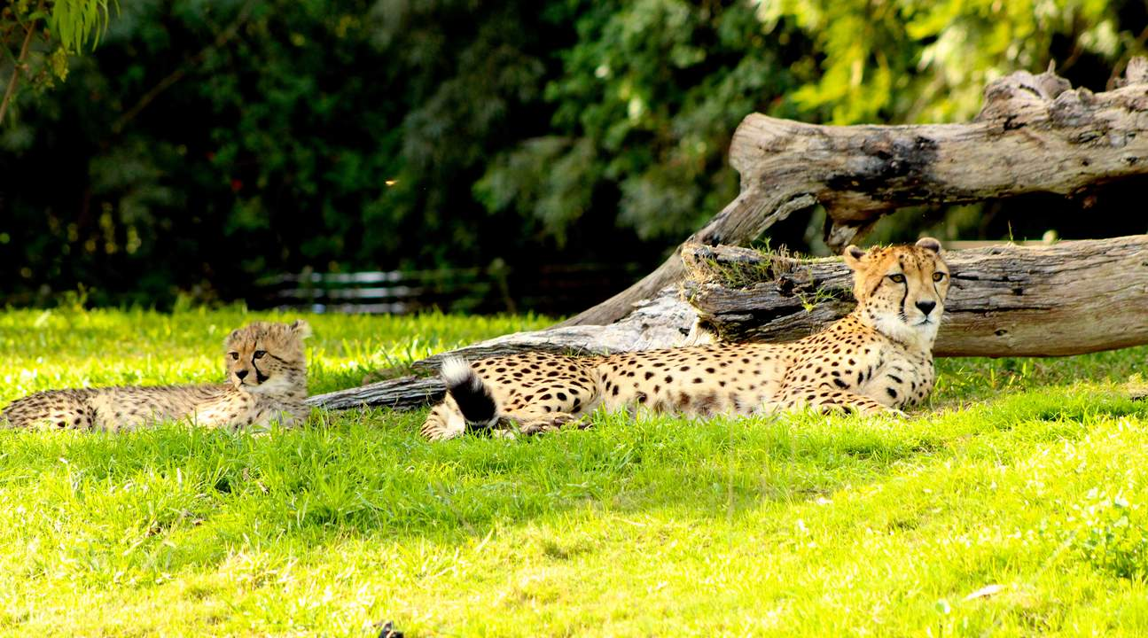 聖地亞哥野生動物公園獵豹