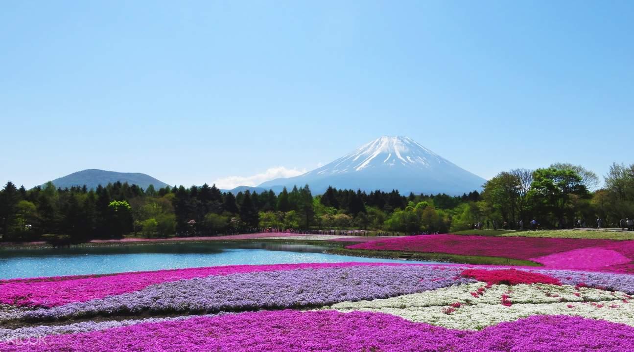 fuji shiba sakura