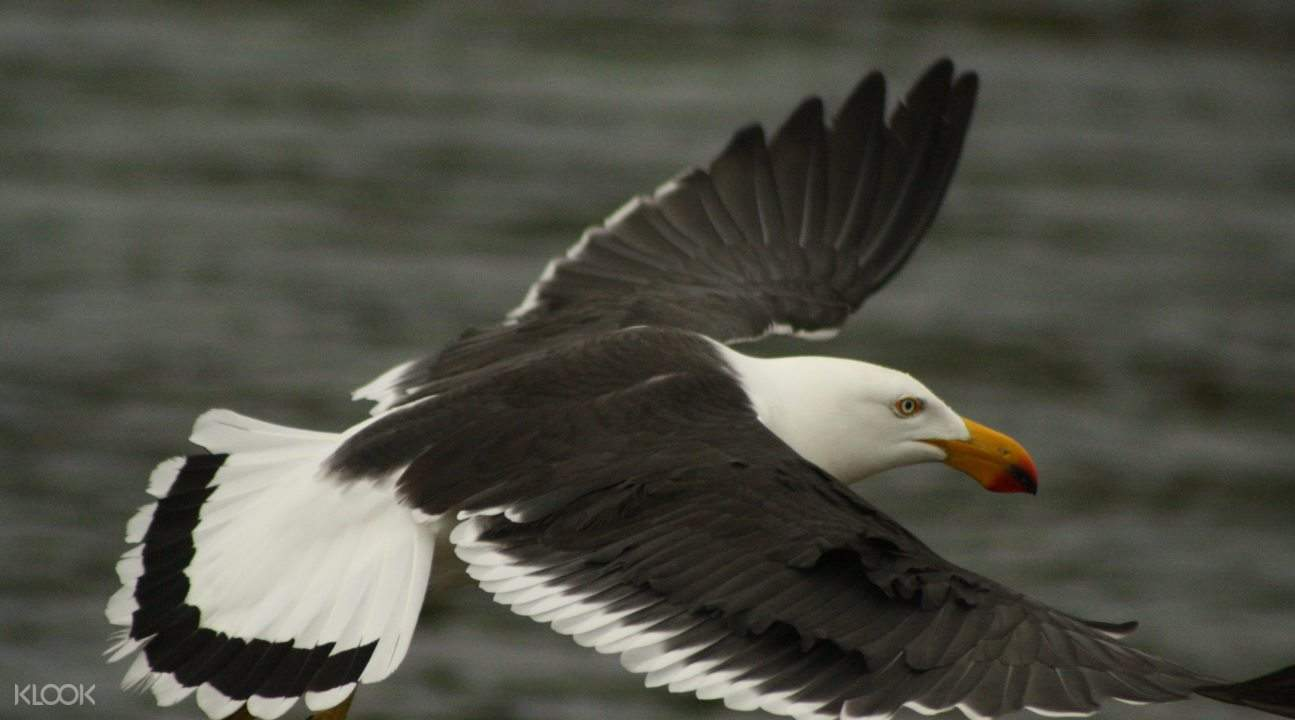 Pacific gull flying over ocean during safari