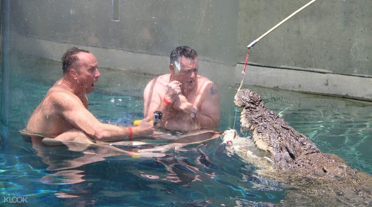 咸水鳄鱼投食