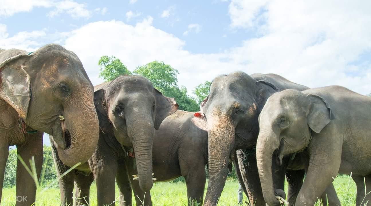 清邁大象保護營& 叢林飛躍一日遊(Gibbons love Elephants)