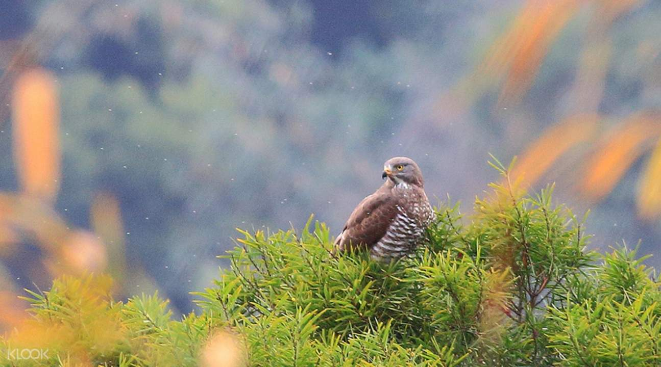 Grey faced buzzard hawk