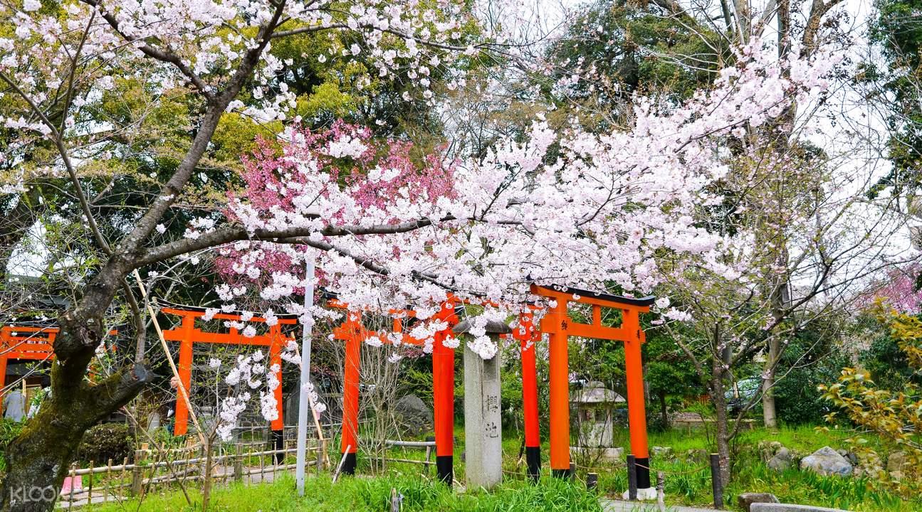 sakura festval hirano shrine kyoto