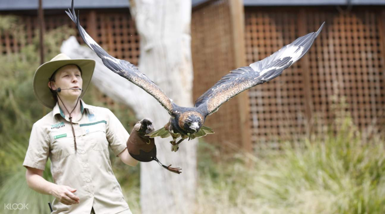 healesville bird show