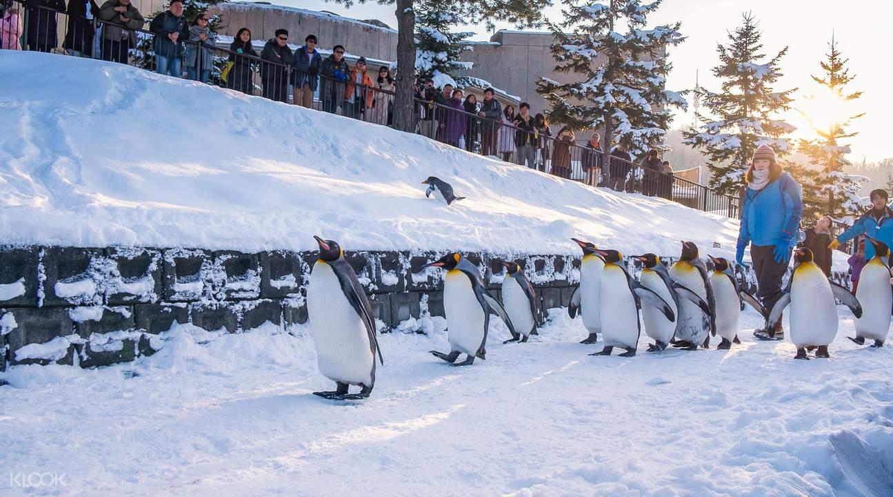 旭山 动物园企鹅游行